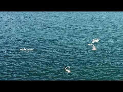 Avistan un grupo moi numeroso de delfíns na ría de Vigo