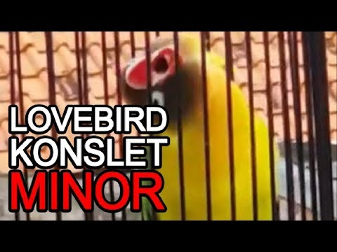 LOVEBIRD NGEKEK SPEED LAMBAT MINOR