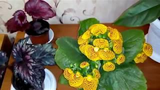 Комнатные растения .Обзор декоративно -лиственных бегоний .