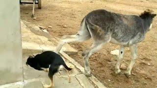 Cachorro briga por comida  com jumento e sofre um  coice.
