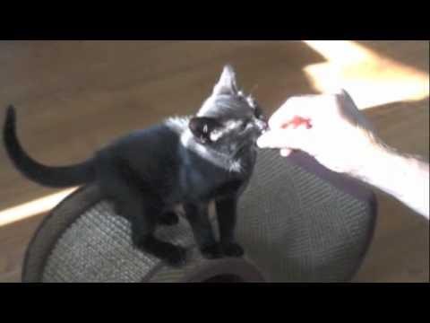 Clicker Training a Kitten