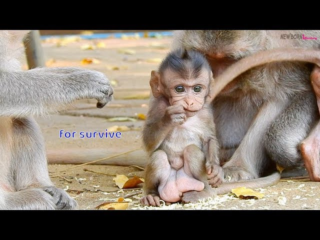 Milo understand he is less milk from mom - Baby monkey need to eat more extra food for survive