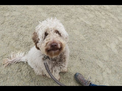 Scout - Labradoodle - 3 Week Residential Dog Training At Adolescent Dogs