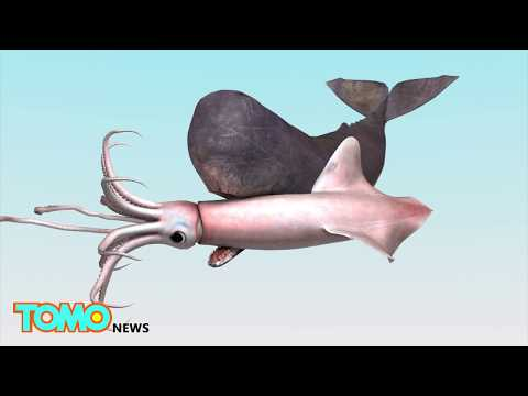 Kraken found! Giant squids could grow bigger than school bus, new study shows - TomoNews