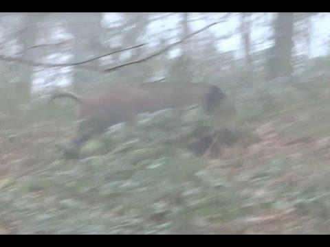 Wild Boar Driven Hunt - Great Shot- Drückjagd - Drevjakt - Chasse Au Sanglier - Driven Hunt Drivjagd