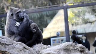 コモモ・モモコのゴリラ親子と、ちょっかいを出すカラス。上野動物園。 ...