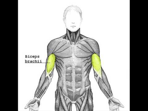 Biceps Brachii Muscle - YouTube