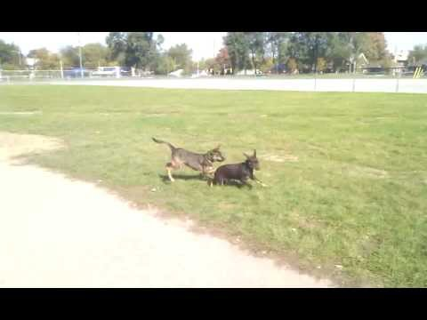 Twila, a kelpie, and a doberman play