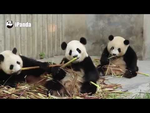Three Pandas Eat Bamboos And Act Cute,All Have Different Postures