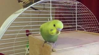 Первые полёты попугая! Бассейн для попугая. Волнистые попугаи