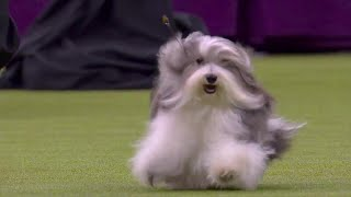'Bono' the Havanese dog wins Toy Group at 2020 Westminster Dog Show