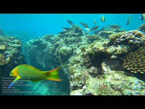 Okinawa (Japan) Fucoidan 45000mg (Kanehide Bio) - Underwater footage with Sony X3000