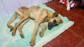 Казачка-собака с инвагинацией кишечника после двух операций.