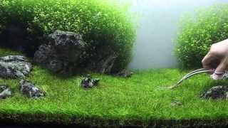 Green&Grey Aquarium - Day 98 - sp. mini trimming