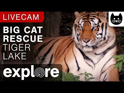 Tiger Lake - Big Cat Rescue powered by EXPLORE.org