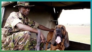 Bloodhounds Hunting Dogs   Earth Unplugged