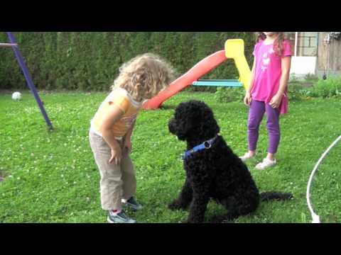 Der Barbet, ein idealer Familienhund