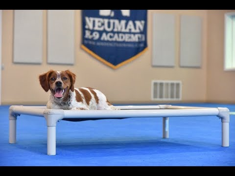 Rose (French Brittany Spaniel) Boot Camp Dog Training Video Demonstration