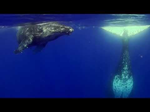 Diving with Humpback Whales in Tonga -- Mother & Calf