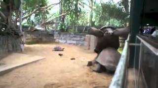 slow motion turtle fall after fight