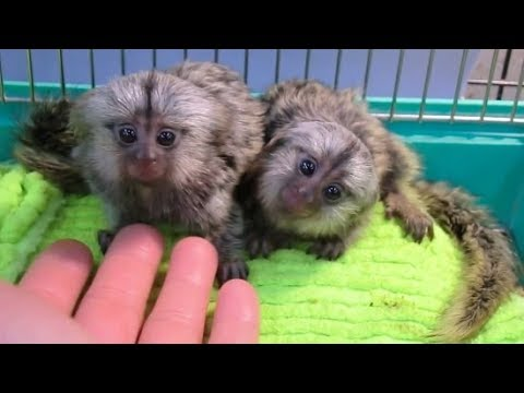 Cute Monkeys Part #80 - Baby Finger Sweet Marmoset Monkey Playing at home - So cute