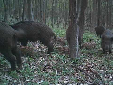 Scroafe și pui de mistreț în Parcul Natural Vânători Neamț - wildboar in Romania