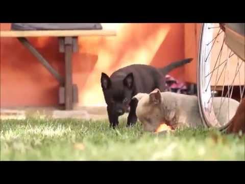 Australian Kelpie puppies