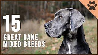 Top 15 great Dane Mix Breeds | Dog World