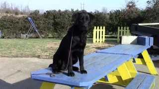 Training Your Labrador Retriever Puppy Part Five