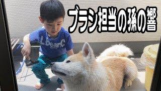 grandchild and German Shepherd dog お風呂大好き秋田犬そうすけ君今日...