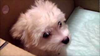 ミックス犬マルチワ お迎え編②  Puppy Of The Mixed Breed Dog (maltese × Chihuahua)