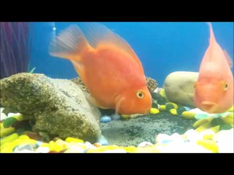 Aninimal Book: Female Parrot Fish laying eggs while Male fertilizers them ...