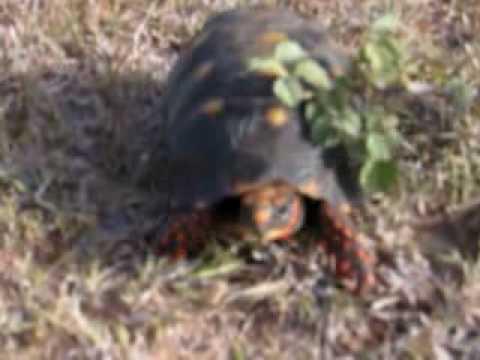 Anguilla Tortoise Crossing