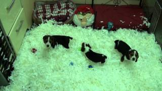 Little Rascals Uk Breeders New Litter Of Beagle Boys And Girls