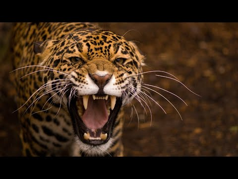 Leopard Documentary - Big Cats