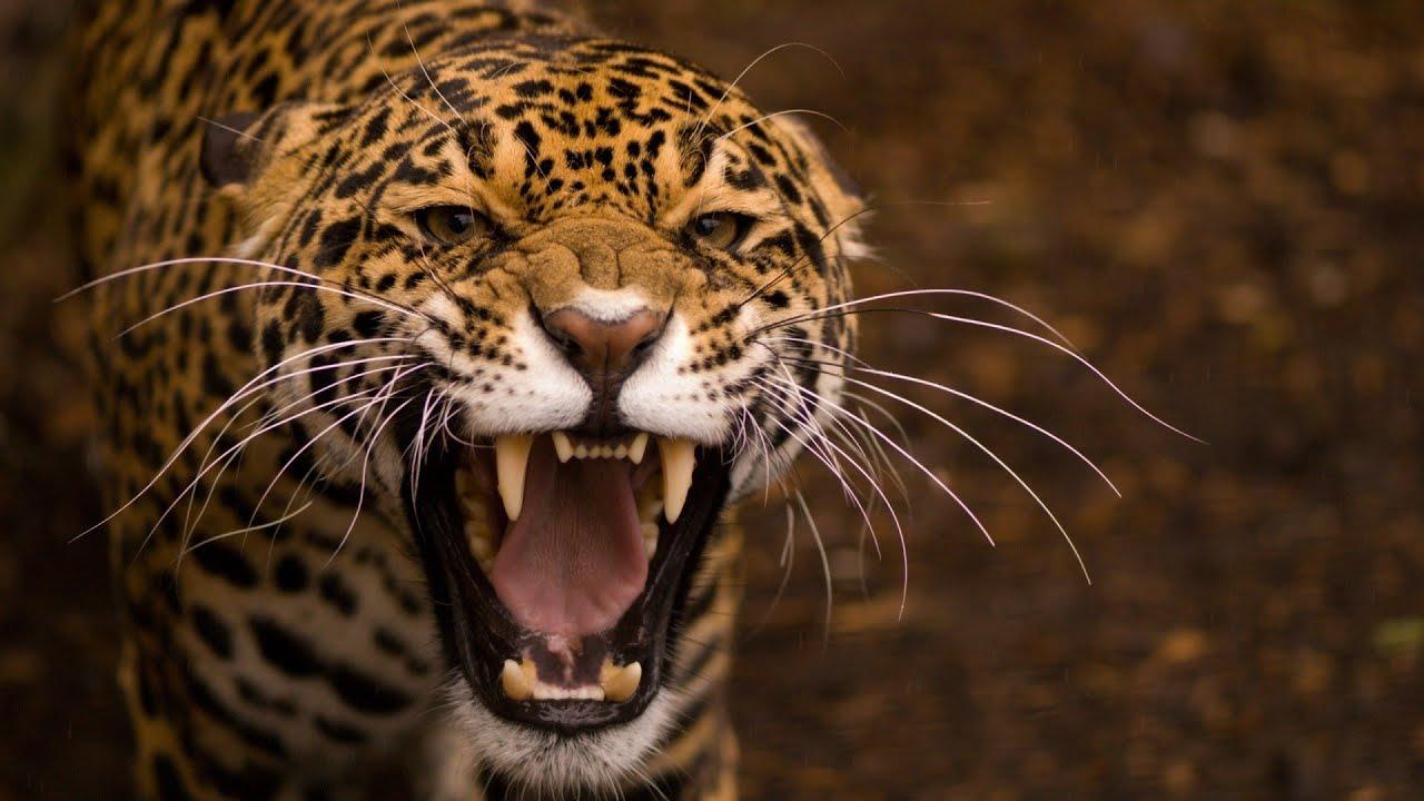 Download Leopard Documentary - Big Cats Wildlife HD