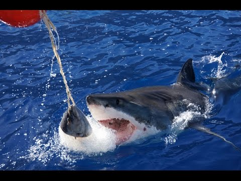 Great White Sharks Cage Diving at Guadalupe Island - Mexico