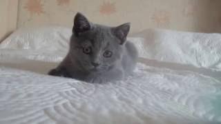Британский котик 3 месяца