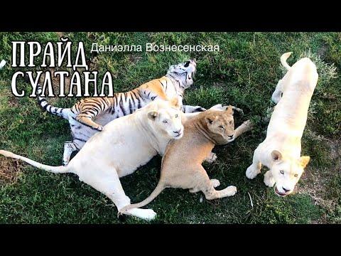 Красивые львы и львицы в подростковом прайде