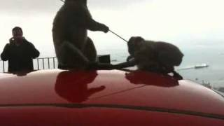 Gibraltar Monkeys Attack Car