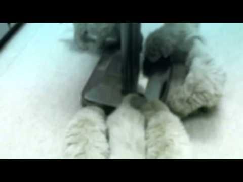 Cute Komondor puppies!