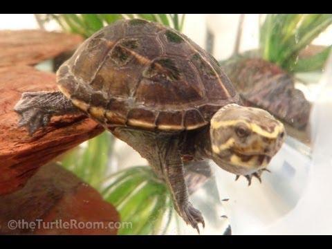 Baby Mud Turtle Growth