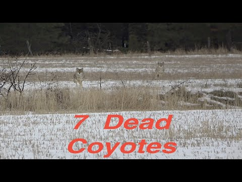 Coyote Hunting 2019, 7 Kills