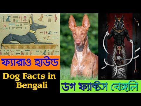 Pharaoh Hound Dog facts in bengali | Egyptian Dog | Dog Facts Bengali