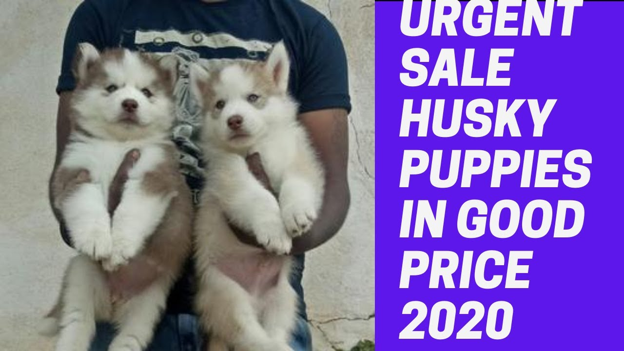 Husky Puppies Price In Kerala