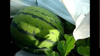 西瓜の植付から収穫手前まで thumbnail