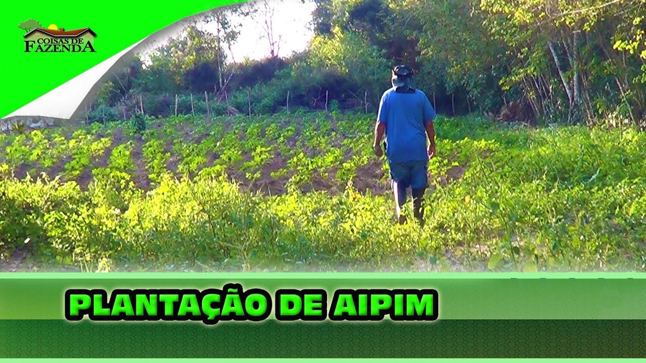 PLANTAÇÃO DE AIPIM