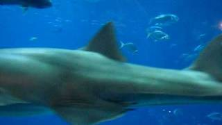 saw shark at georgia aquarium