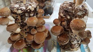 표고버섯키우기1   (이젠 집에서  쉽게  버섯을  키…