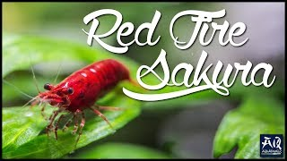 ALLES ÜBER RED FIRE SAKURA GARNELEN | Die perfekte Einsteiger Garnele für dein Aquarium | AquaOwner